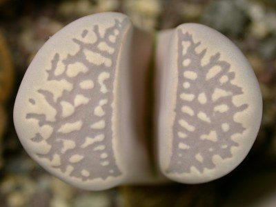 Lithops marmorata
