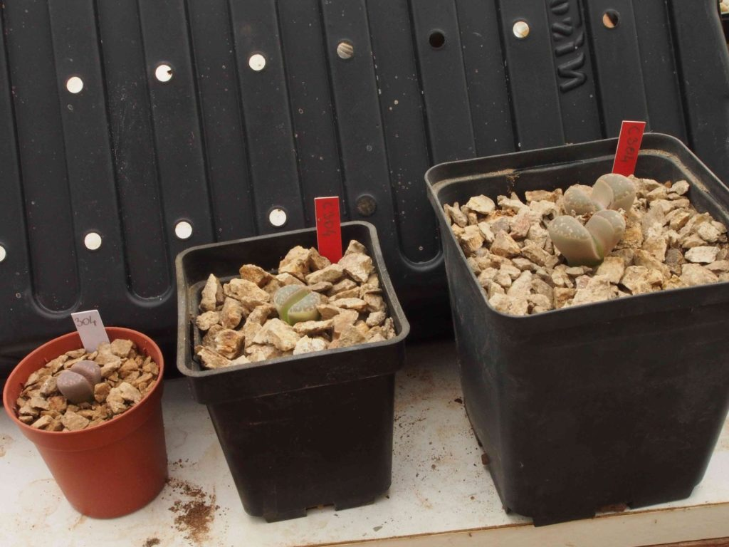 Pots pour planter le Lithops