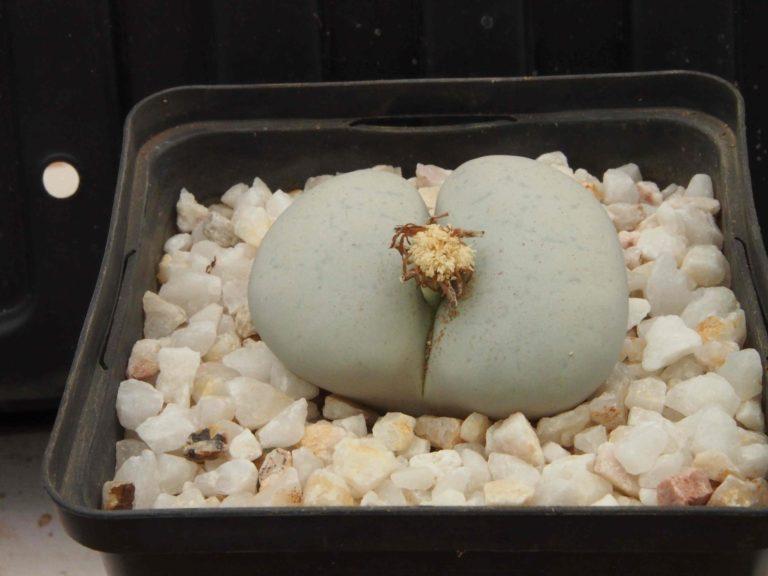 Planter Lithops